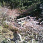金刀比羅宮の桜の名所「桜馬場(さくらのばば)」ライブカメラ
