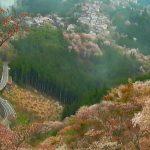 吉野桜と町並みライブカメラ