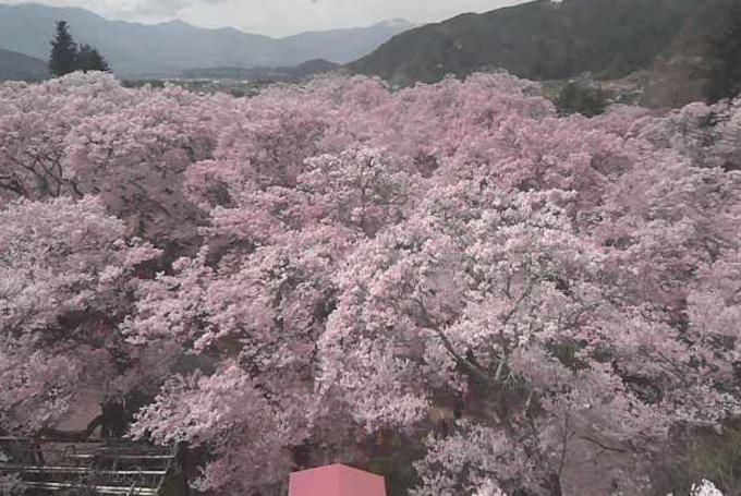 長野県伊那市 高遠城址公園の桜ライブカメラと雨雲レーダー