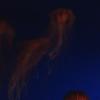 アカクラゲ(Japanese Sea Nettles)ライブカメラ