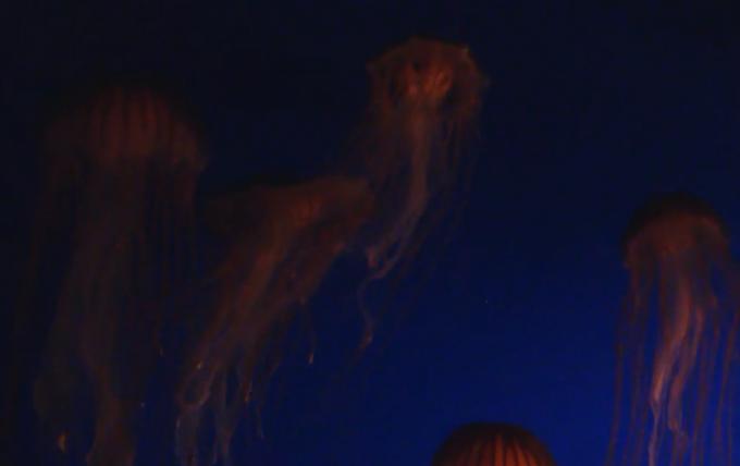 アカクラゲ(Japanese Sea Nettles)ライブカメラ/カナダ・バンクーバー