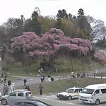 紅枝垂地蔵桜ライブカメラ