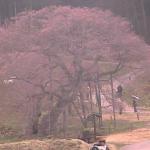 黒部のエドヒガン桜ライブカメラ