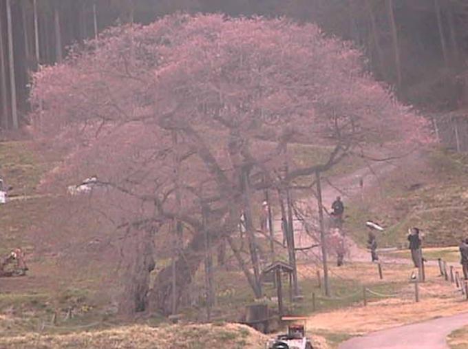 黒部のエドヒガン桜ライブカメラと雨雲レーダー/長野県高山村