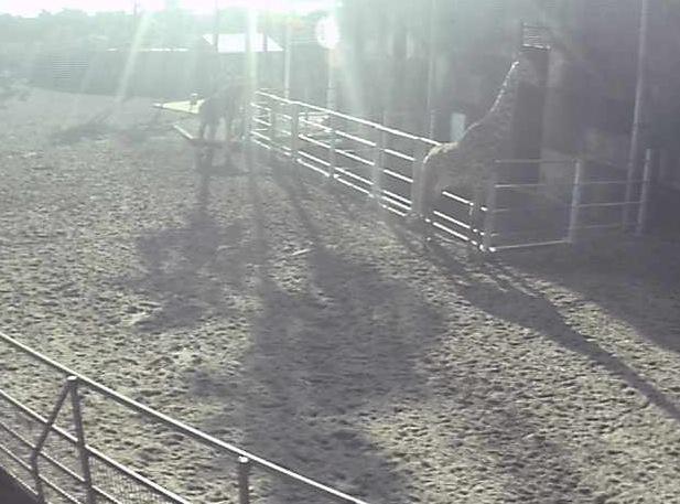 フェニックス自然動物園のアフリカ園ライブカメラ