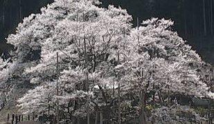 根尾谷淡墨桜ライブカメラと雨雲レーダー/岐阜県本巣市