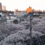 目黒川沿いの桜並木ライブカメラ①