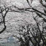 伊豆高原桜ライブカメラ