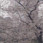 中目黒・目黒川の桜並木ライブカメラ②