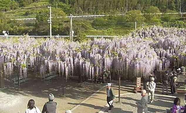 黒木の大藤ライブカメラと雨雲レーダー/福岡県八女市