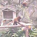 野毛山動物園のレッサーパンダライブカメラ