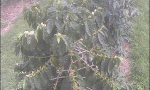 UCCハワイコナコーヒー・エステートライブカメラ/ハワイ