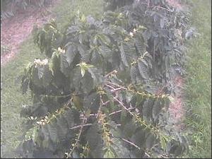 UCCハワイコナコーヒー・エステートライブカメラ