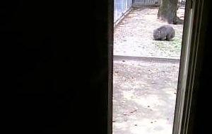 五月山動物園・ウォンバット(室内)ライブカメラ