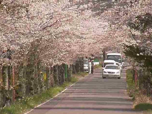太平山遊覧道路の桜ライブカメラ
