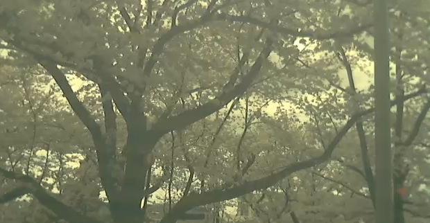 五条川の桜開花ライブカメラと雨雲レーダー/愛知県大口町