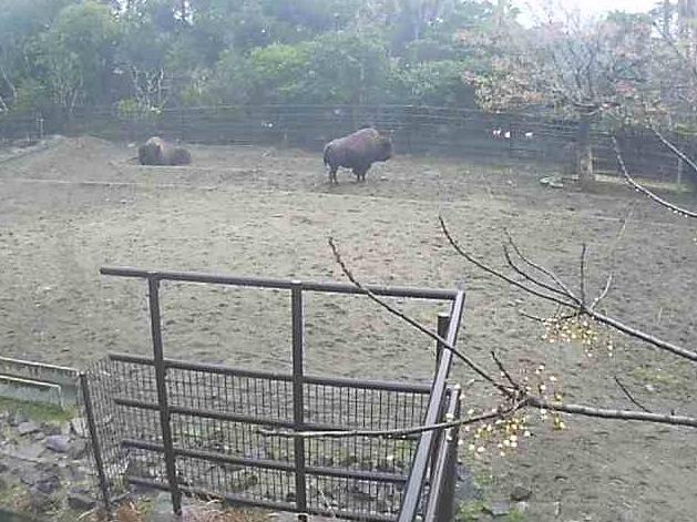 フェニックス自然動物園のバイソンライブカメラ