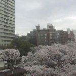 播磨坂さくら並木と荒川公園の桜ライブカメラ(期間限定)