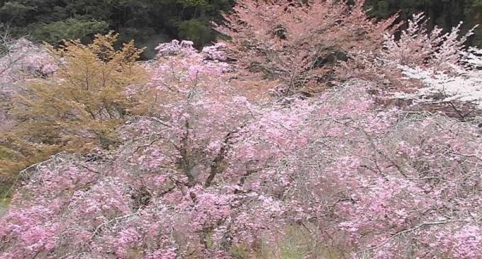 奈良県川上村 あきつの小野公園の桜ライブカメラと雨雲レーダー
