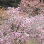 あきつの小野公園の桜ライブカメラ
