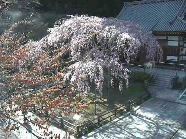 太山寺しだれ桜ライブカメラ