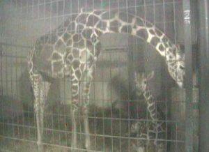 茶臼山動物園 キリンがみれるライブカメラと雨雲レーダー/長野県長野市