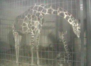 茶臼山動物園 キリンがみれるライブカメラ