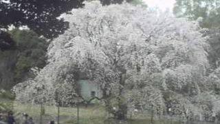 六義園 ライブカメラ(しだれ桜・心泉園)と雨雲レーダー/東京都文京区
