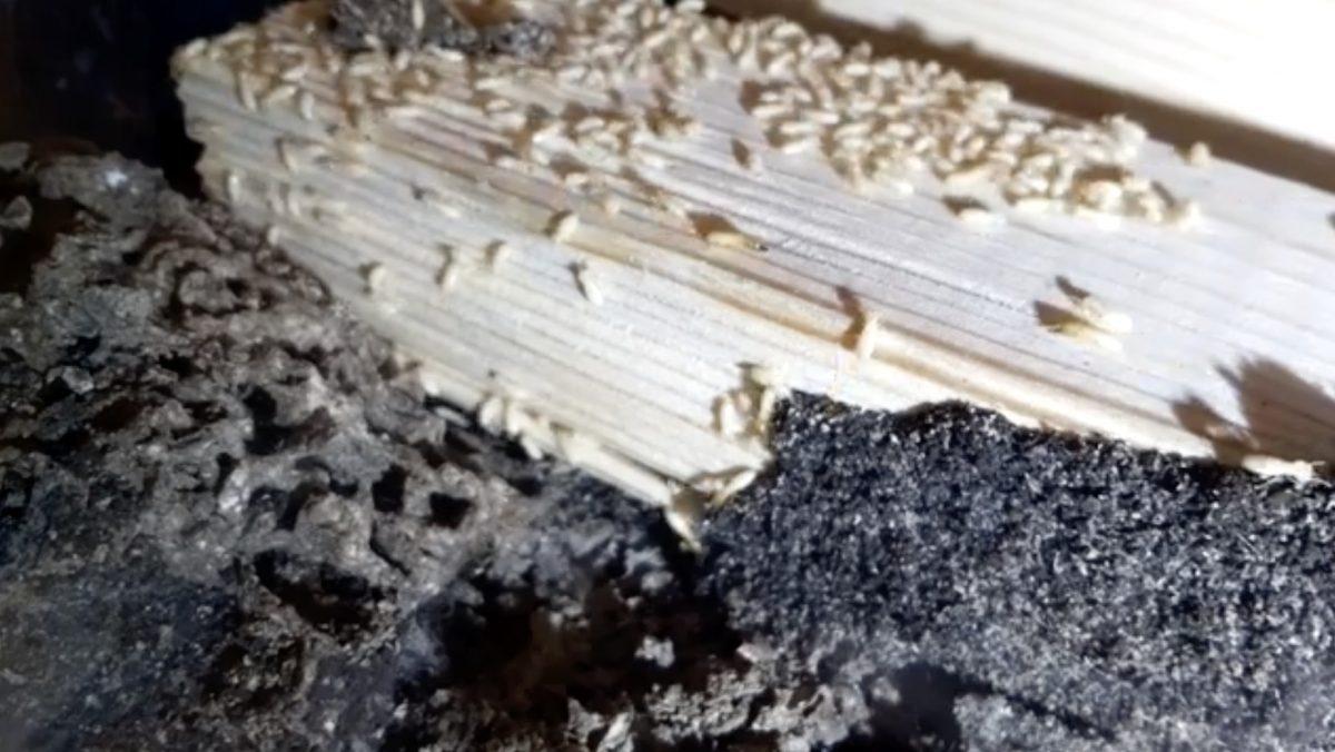 虫が苦手な方は閲覧注意:シロアリ観察 ライブカメラ
