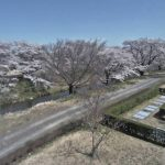 桜の開花時期限定:藤田川ふれあい桜ライブカメラ