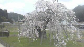 信楽町畑しだれ桜ライブカメラと雨雲レーダー/滋賀県甲賀市